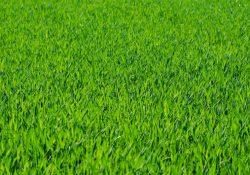 Få en flot græsplæne med rullegræs