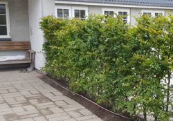 Bøgehække - smukke, grønne hække til din have